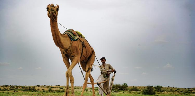 Thar desert blooms in Sindh